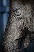 elephant_2508-0528-edited 20x30 print